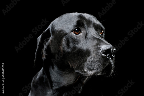 Portrait of an adorable Labrador retriever looking curiously - isolated on black Canvas Print