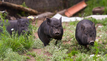 Charming Black Pigs Grazing In The Meadow