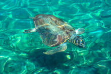 The Loggerhead Sea Turtle Also Known As Caretta Caretta Is Swimming Under The Mediterrenian Sea In Greece Islandsю Endangered Species Of Turtles