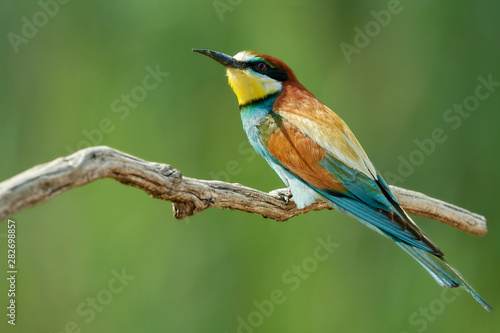 Colorful bee-eater bird (Merops apiaster) sitting on a tree branch against green nature background Wallpaper Mural
