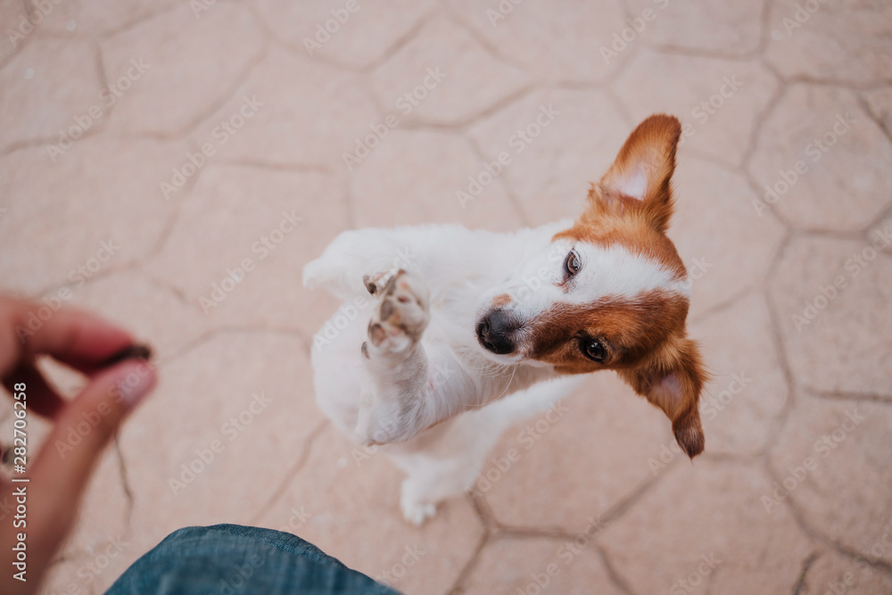 Fototapety, obrazy: cute small jack russell terrier dog walking on two paws asking for delicious treats. Pets outdoors and lifestyle