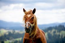 Brown Horse Close Up Portrait