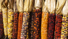 Colorful Ears Of Indian Corn A...