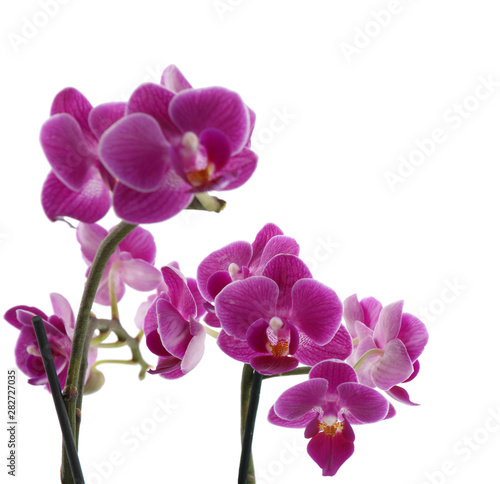 Tuinposter Orchidee Beautiful tropical orchid flower on white background