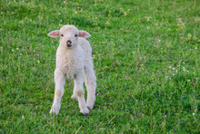 Small And Cute Lamb Standing A...