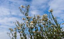 Majestic California Matilija Poppy Flower Reaching For The Blue Sky.