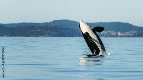 Fototapeta Orca Breach