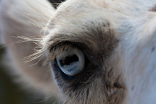 Camels Eye Photographed Up Clo...