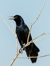 Grackle Perching With Blue Sky...