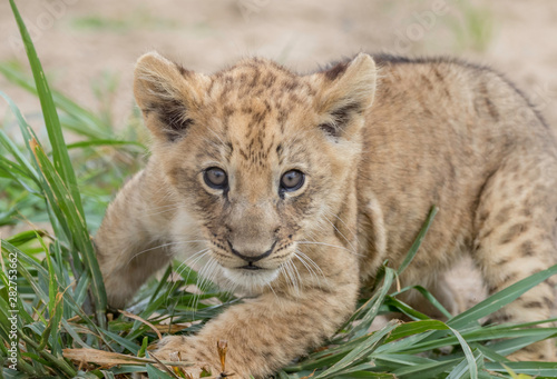 Photo lion cub simba at keystone safari Pennsylvania