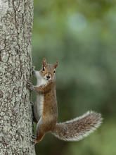 Squirrel In The Tree Staring