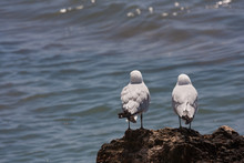 Pair Of Nosey Seagulls Looking Out To Sea