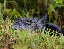 Alligator Hiding In The Grass