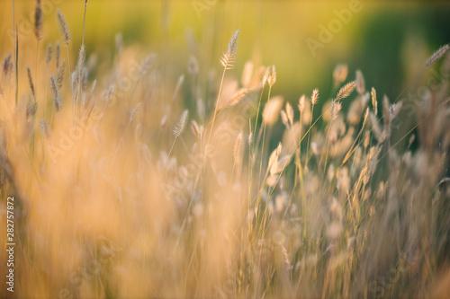 Fotobehang Gras close up macro of golden wheat crop weeds