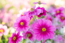 Closeup Beautiful Pink Cosmos Flower With Blue Sky Background, Selective Focus