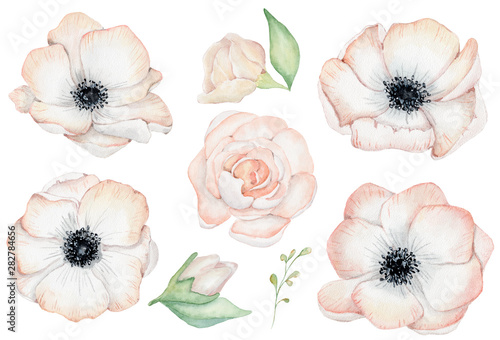 Watercolor anemone rose flowers illustration isolated on the white background Wallpaper Mural