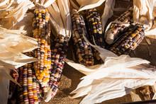 A Harvest Of Ornamental Indian Corn.