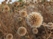 Dried Flowers Of Great Globe T...