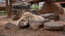 Lion Is Relaxing. Female Lion ...