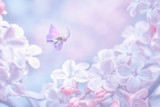 Beautiful spring purple lilac flowers blossom branch background with butterfly in sun light, macro. Soft focus nature background. Delicate pastel toned image. Nature closeup floral springtime.