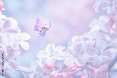 Foto auf Leinwand Flieder Beautiful spring purple lilac flowers blossom branch background with butterfly in sun light, macro. Soft focus nature background. Delicate pastel toned image. Nature closeup floral springtime.
