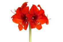 Red Amaryllis Flower In Bloom ...