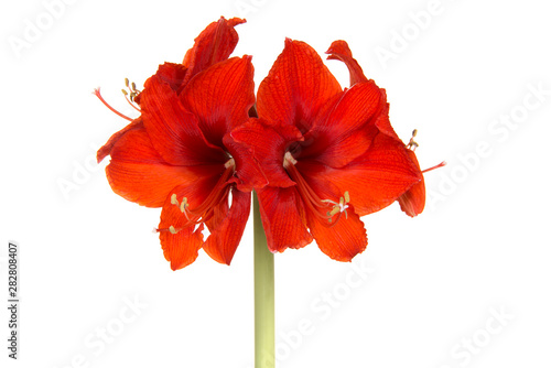 Red amaryllis flower in bloom isolated on a white background Canvas Print