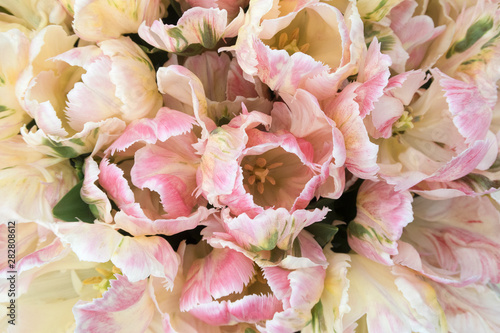 Montage in der Fensternische Hortensie Full-frame of a pastel colors blooming tulips flowers seen from a high angle view