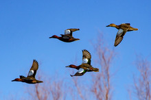Cinnamon Teals Formation Flight
