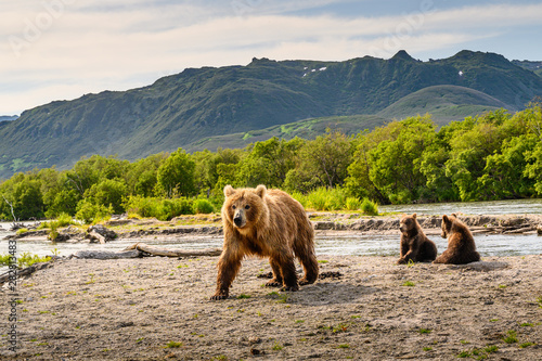 Ruling the landscape, brown bears of Kamchatka (Ursus arctos beringianus) Wallpaper Mural