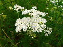 Common Yarrow (Achillea Millefolium) White Flowers Close Up Top View On Green Blurred Grass Floral Background, Selective Focus. Medicinal Wild Herb Yarrow. Medical Plants Concept.
