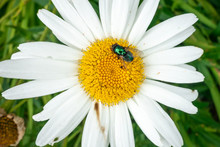 A Green Bottle Fly On An Oxeye...