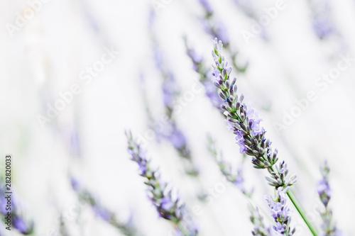 Photo Stands Lavender Brin de lavande dans la lumière du soleil