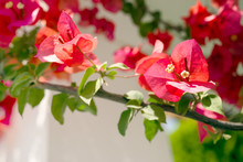 Pink Tropical Flowers Of A Bougainvillea In The Garden