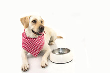 Labrador Retriever Dog Ready For Eat With Empty Bowl And Checkered Napkin. Isolated On White Background.