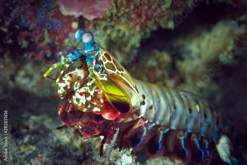 Fotografie, Obraz  Peacock mantis shrimp gets out of his burrow