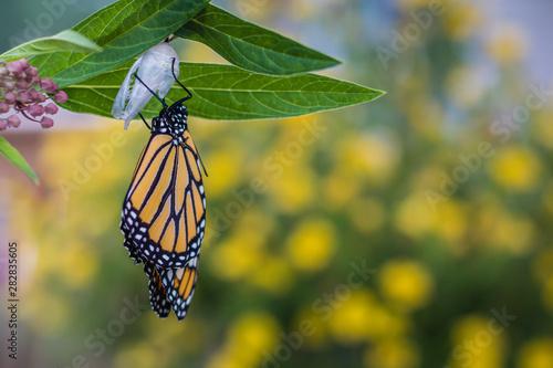 Vászonkép Monarch Butterfly, Danaus Plexppus, drying wings, yellow flowers background