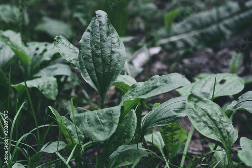 Obraz Plantain. Valuable medicinal plant. Plantago Major, a perennial herb of the family Plantagenaceae. - fototapety do salonu