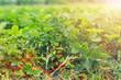 Leinwandbild Motiv Strawberry bushes on strawberry field in a farm