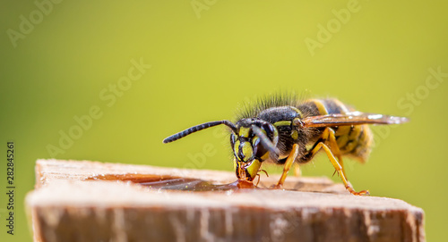 Fototapeta A wasp is sitting at a food source. Concept close-ups of insects. obraz