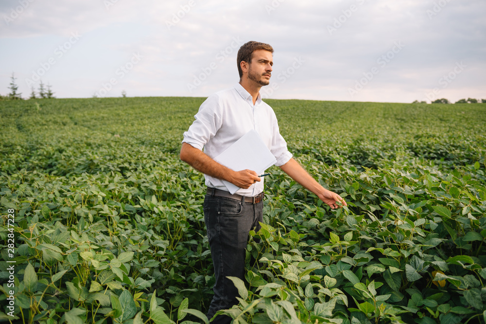 Fototapety, obrazy: Agronomist inspecting soya bean crops growing in the farm field. Agriculture production concept. Agribusiness concept. agricultural engineer standing in a soy field