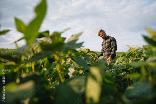 Agronomist inspecting soya bean crops growing in the farm field Canvas Print