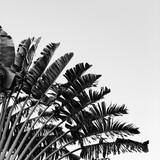Piękne drzewo bananowe. Naturalne minimalne tło w czarno-białych kolorach. Koncepcja lato i podróż. - 282851280