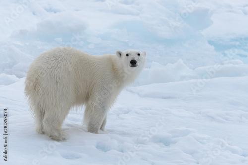 Wall Murals Polar bear Wild polar bear on pack ice in Arctic sea close up
