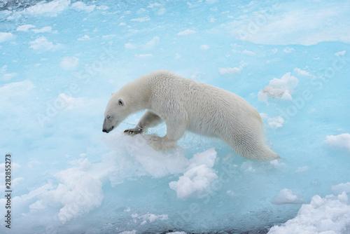 Foto op Plexiglas Ijsbeer Wild polar bear going in water on pack ice in Arctic sea