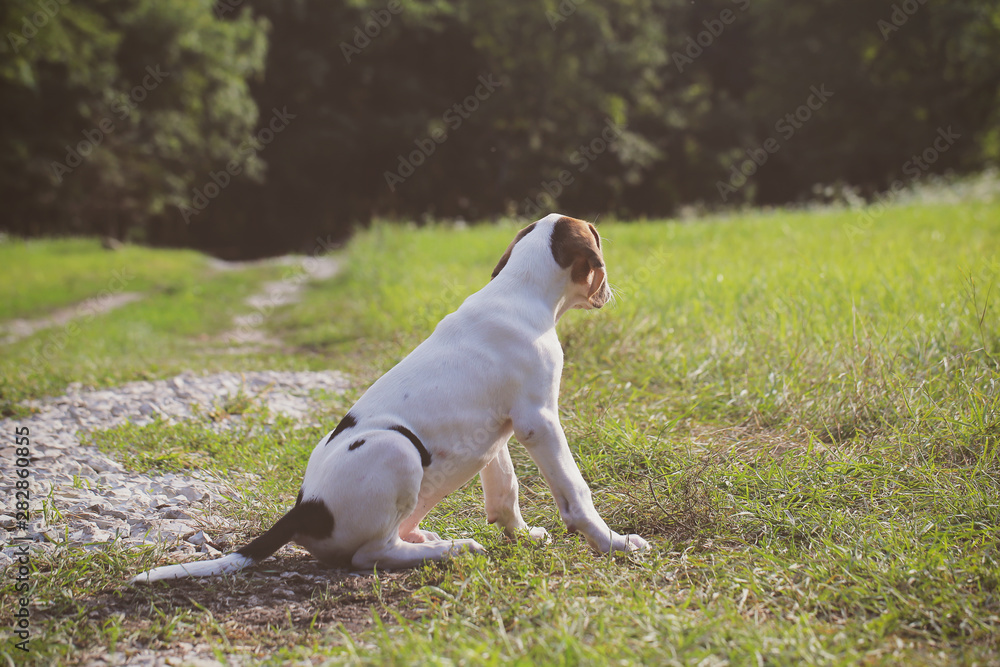 puppy hunting dog walking in nature
