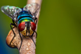 Housefly on branch - macro photography of a fly on a tree branch looking towards lens - nature macro photography