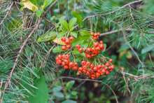 Pyracantha Coccinea, Scarlet F...