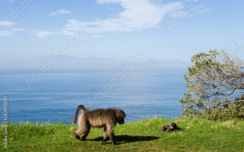 Valokuva  baboons one the road for the Cape of Good Hope, South Africa