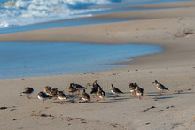 Sandpipers On A Beach